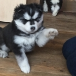 Adorable male and female siberian huskies for sale