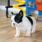 HEAD TURNING AKC FRENCH BULLDOG BABIES