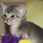 Adorable Abyssinian kittens ready for new home adoption