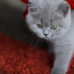 fresh addorable British Shorthairkittens ready for new home adoption