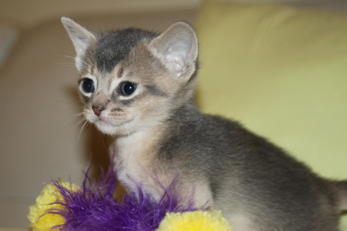 Abyssinian kittens for sale texas – Popular breeds of cats photo blog