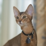 fresh and adorable Abyssinian kittens male and female ready for new home adoption