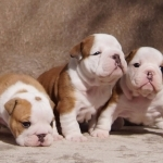 Adorable English Bulldog Puppies For Rehoming.