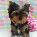 Adorable Teacup Yorkie Puppies For Adoption
