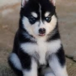 Akc registered Siberian Husky puppies for free adoption