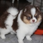 Beautiful Pomeranian puppies Available  for free adoption