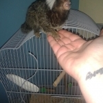 Cute Baby Marmoset Monkeys for Sale. Please contact us: 410-505-8235
