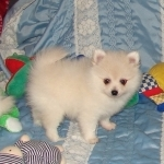 adorable lovely Pomerianian puppy for a caring home