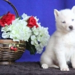 Male and Female Siberian Husky Puppies for New Home.