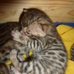 Pure Bengal Leopard Kittens on sale