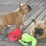 Super cute and trained French bulldog puppies
