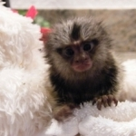 Healthy Baby Marmoset Monkeys for adoption