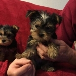 $230 Two Precious Yorkie Pups CALL/TEXT..(216) 264 -3815 $230