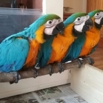 Species: African Grey,Scarlet macaw,Blue and Gold Macaw,Hyacinth Macaw,Scarlet Macaw,Greenwing Macaw