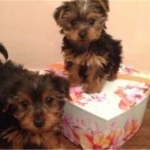 Home trained Male and female yorkshire terrier  Pups Available