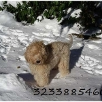 Female Labradoodle puppy looking for good home