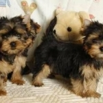 Chihuahua and Yorkie puppies text me at (985) 276-9262
