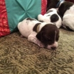 AKC GERMAN SHORTHAIRED POINTER PUPPIES FOR SALE Text Via 3233885460