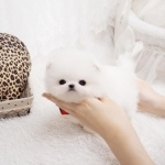 Affordable Teacup Pomeranian Puppies Ready