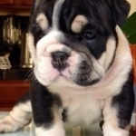 Tri-Coloured English Bulldog Puppies