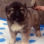 Healthy Males and females Caucasian Ovcharka Puppies