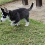 Blue Eye Siberian Husky puppies for sale $500