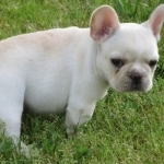 French Bulldog puppies for sale $500 - Dogs & Puppies - Iowa