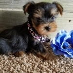 Tea Cup Yorkshire Terrier Puppies For Sale $500