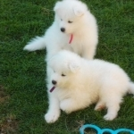 Cassy And Lizzy Samoyed Pups $500
