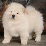 chow chow puppies for sale $500