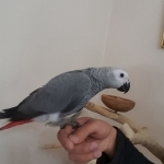 Baby African Grey Congo Parrot Ready To Go