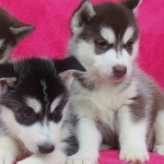Siberian Husky Puppies Ready to go