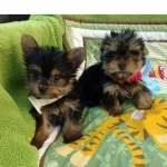 Gorgeous Tiny Yorkie Puppies For Adoption.