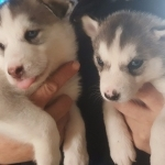Beautiful Siberian husky purebred puppies.