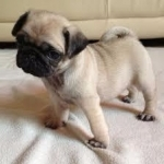 FAWN PURE BREED PUG PUPPIES FOR SALE