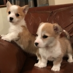 Pembroke Welsh Corgi Puppies..