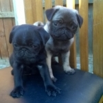 Stunning Pug Puppies Available.