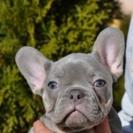 Blue Frenchie: French Bulldog Puppies for Sale | French bulldog puppies for sale in USA