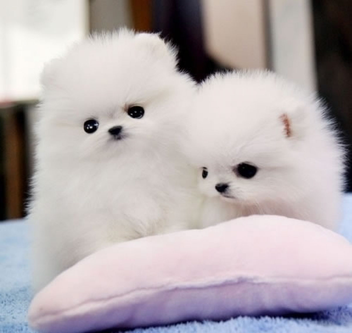 Order lovely Pomeranian puppies, Maltese puppies , Teacup