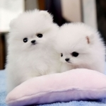 Order lovely Pomeranian puppies, Maltese puppies , Teacup Poodle for sale