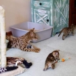 F1 SAVANNAH AND SERVAL KITTENS AVAILABLE