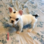 Toy Akc French Bulldogs For Sale Now