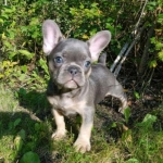 Amazing Frenchie Puppies available now