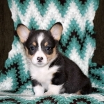 Beauteous Pembroke Welsh Corgi Pups