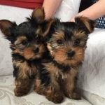 Purebred Lovely Yorkie Puppies