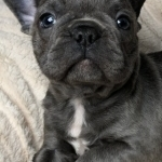 Nice and Healthy French Bulldog Puppies Available