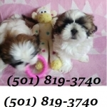 Great Shih Tzu Puppies Ready