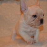 Affordable French Bulldog Puppies For Sale