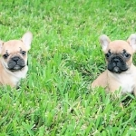 Cute French Bulldog Puppies ready to go now
