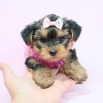 Tiny Teacup & Toy Puppies Available Now! Yorkie, Maltese, Pomeranian, Malipoo & More